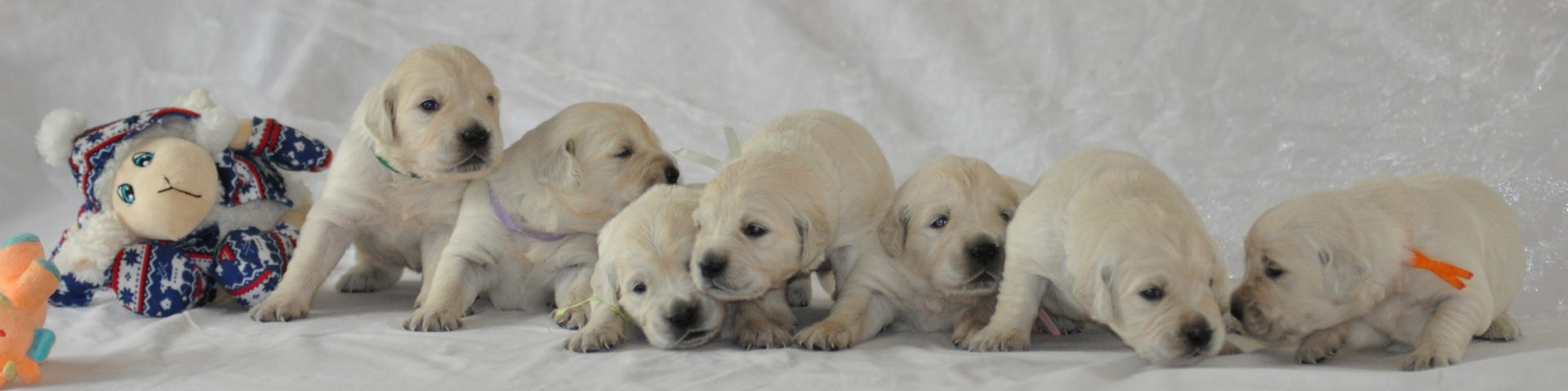 Elevage Familial des Fields de Ora - Golden Retriever